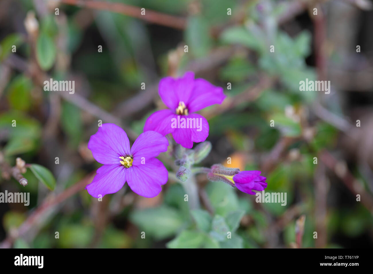 Beautiful yellow and violet field flowers with blurred background. Macro photography - Stock Image
