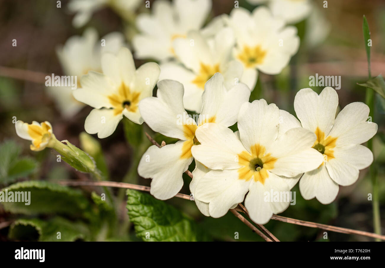 Beautiful yellow field flowers with blurred background. Macro photography - Stock Image