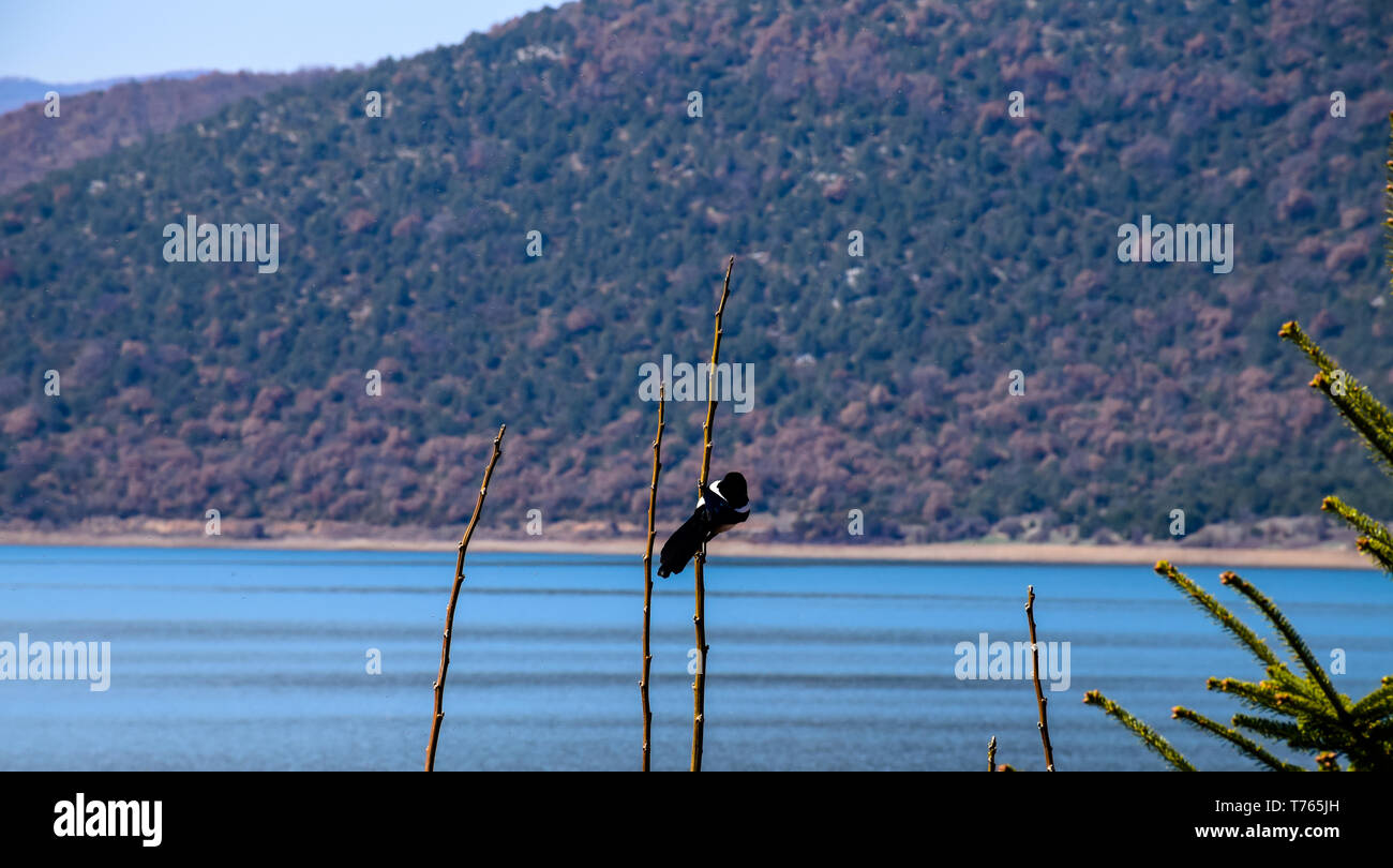 Magpie on a branch with lake and mountain background. - Stock Image