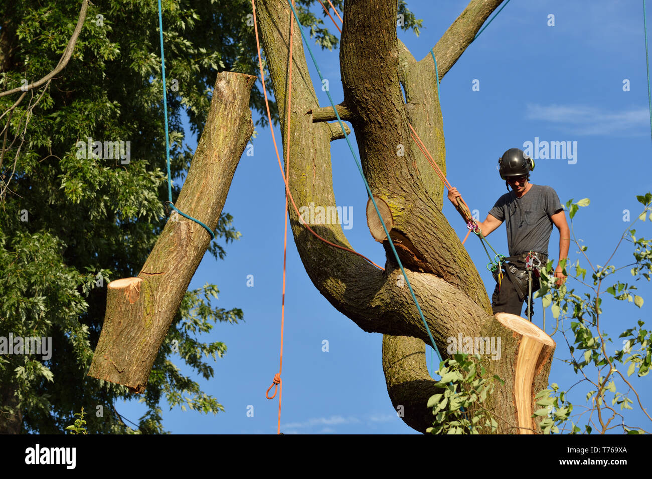 Arborist dismantling tree, holding log with ropes - Stock Image