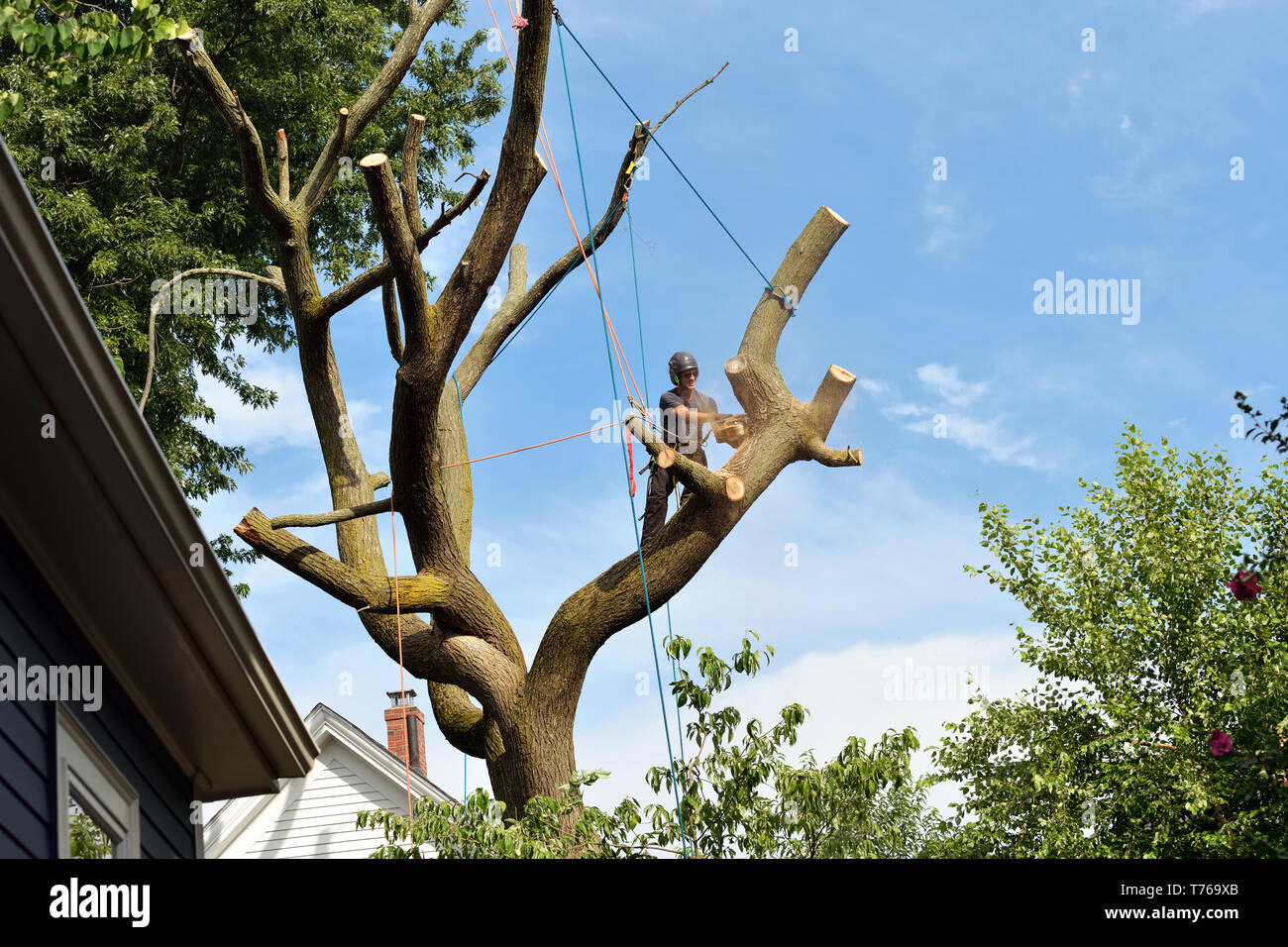 Arborist climbing and dismantling elm tree with chainsaw and rigging equipment - Stock Image