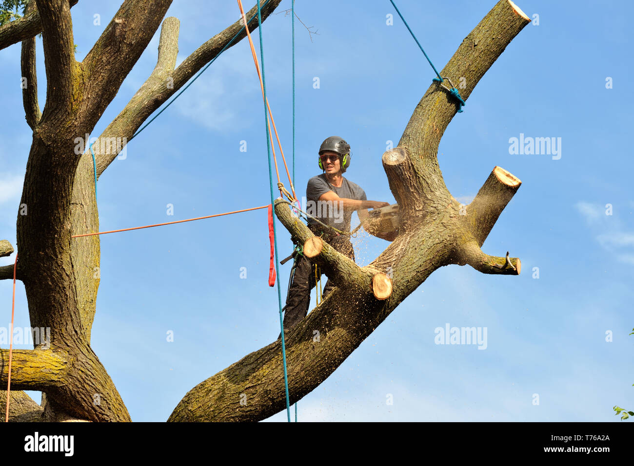 Professional arborist climbing and dismantling tree with chainsaw, ropes and safety gear. - Stock Image