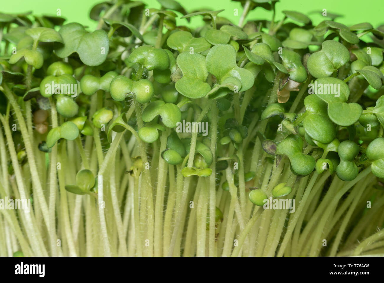 Mustard germs with green leaves from front Stock Photo