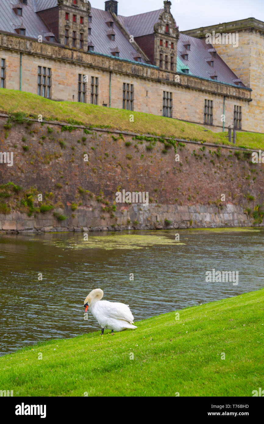 Swan near the protective moat with water around the Kronborg castle. Konborg castle made famous by William Shakespeare in his play about Hamlet situat - Stock Image