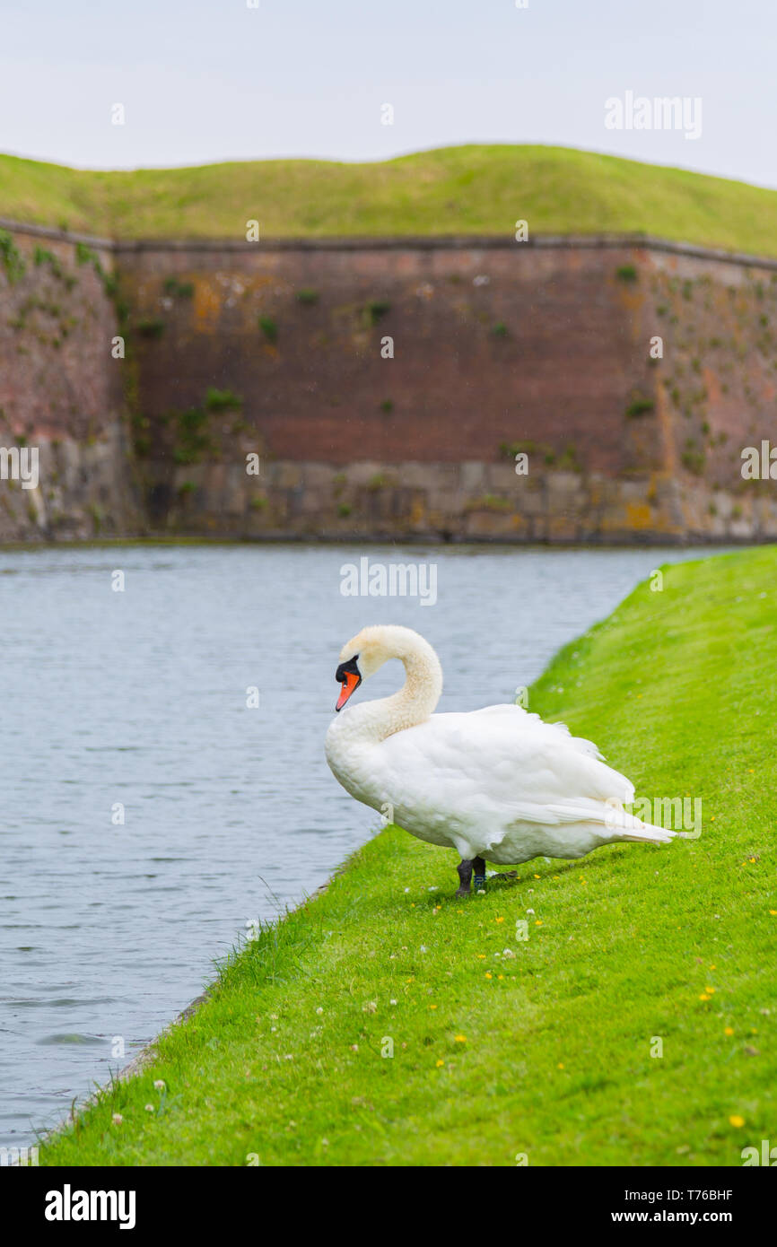 Swan near the protective moat with water - Stock Image