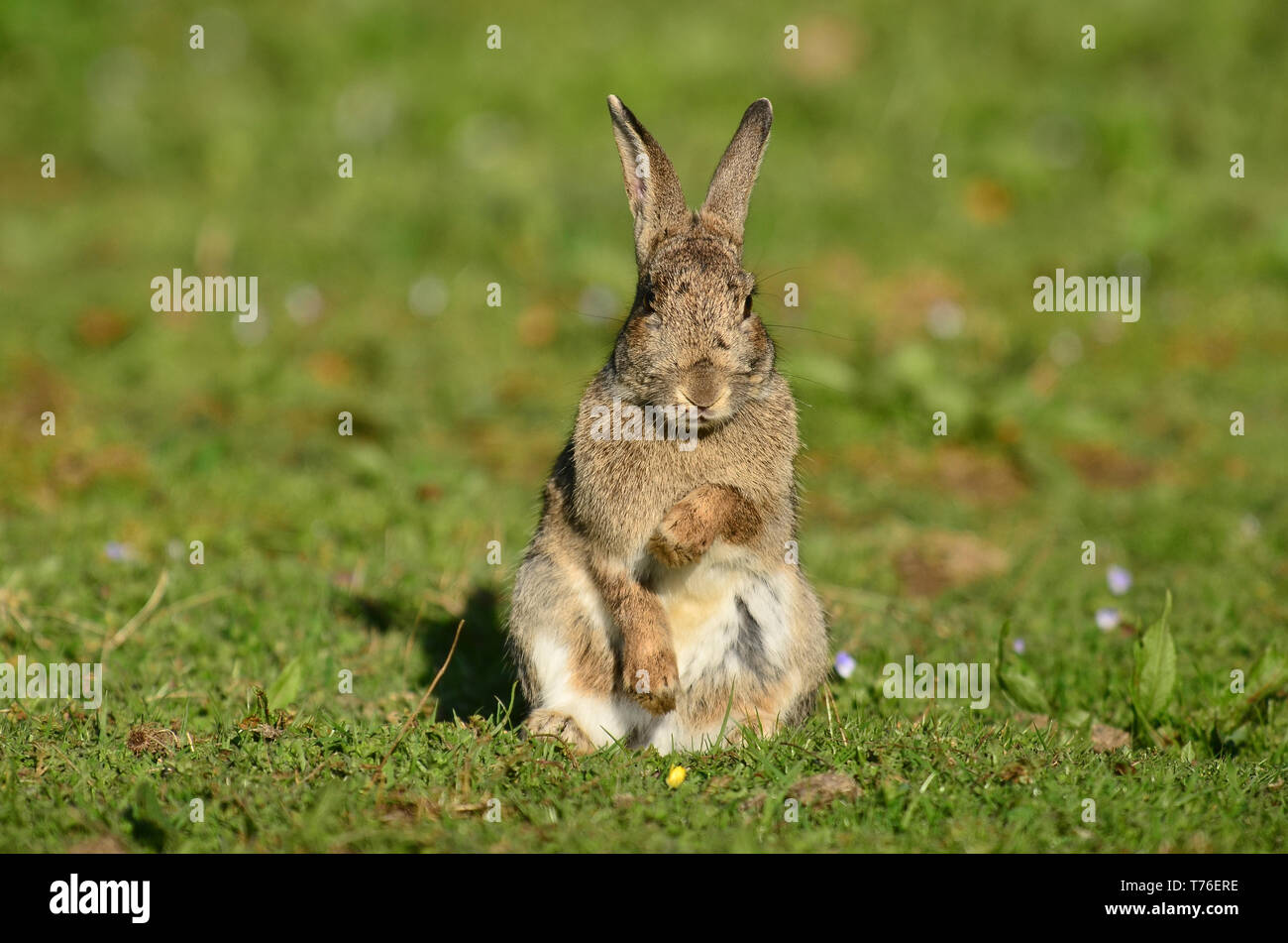 Adult Rabbit Standing On Hind Legs Stock Photo 245391090 Alamy