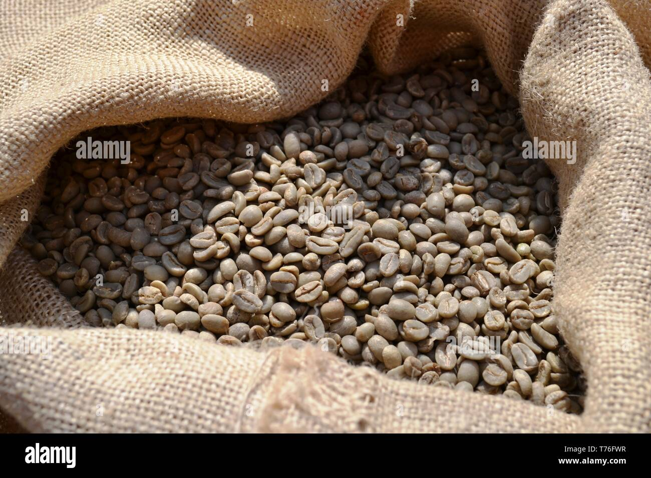 Unroasted dry green coffee beans in a burlap sack of rough canvas exposed in daylight as food for commerce in vegetables for beverages and drinks. - Stock Image