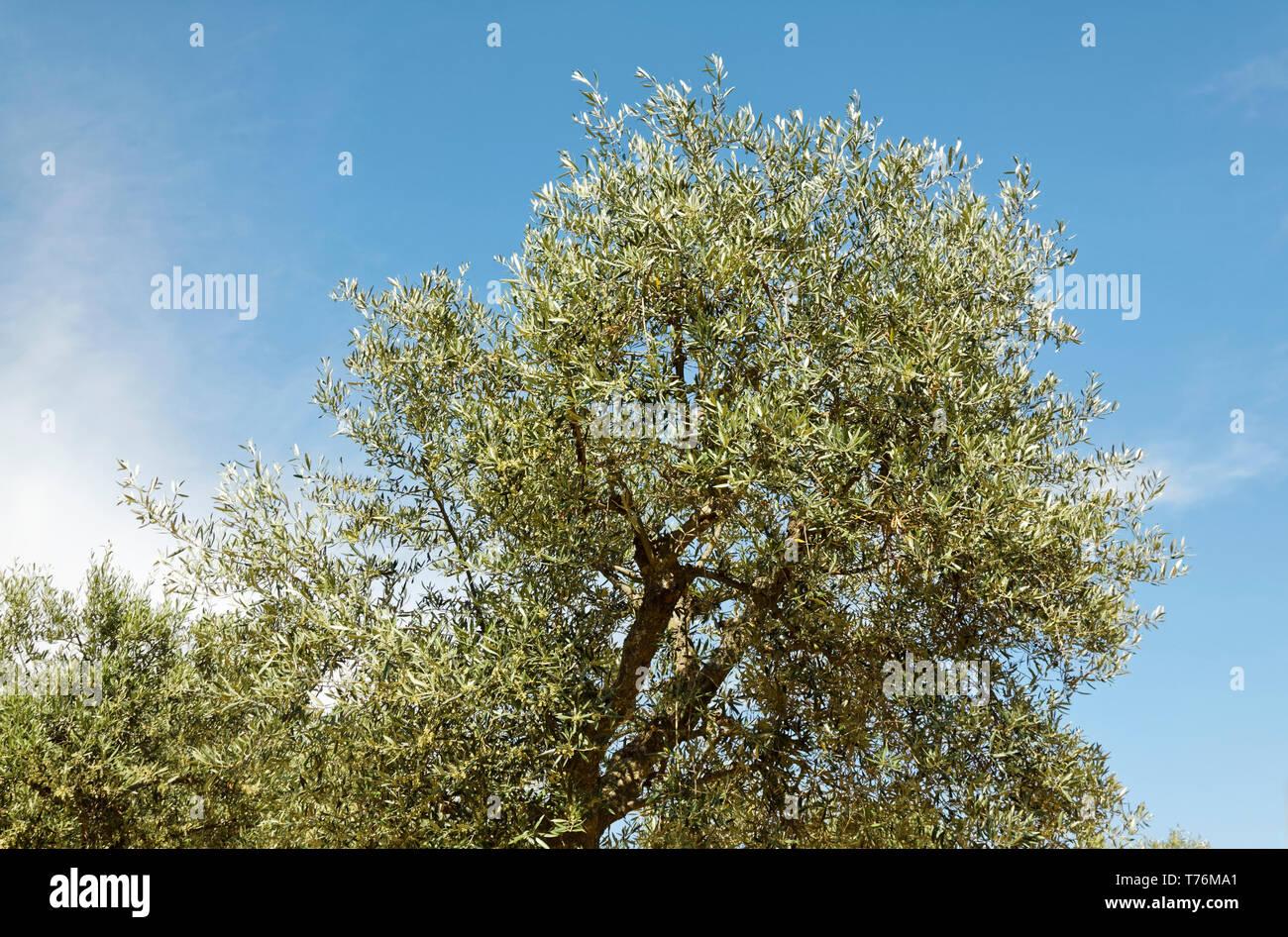 olive tree, fruit, nature, evergreen, Olea europaea, Douro River Valley, Europe, Portugal, spring, horizontal Stock Photo