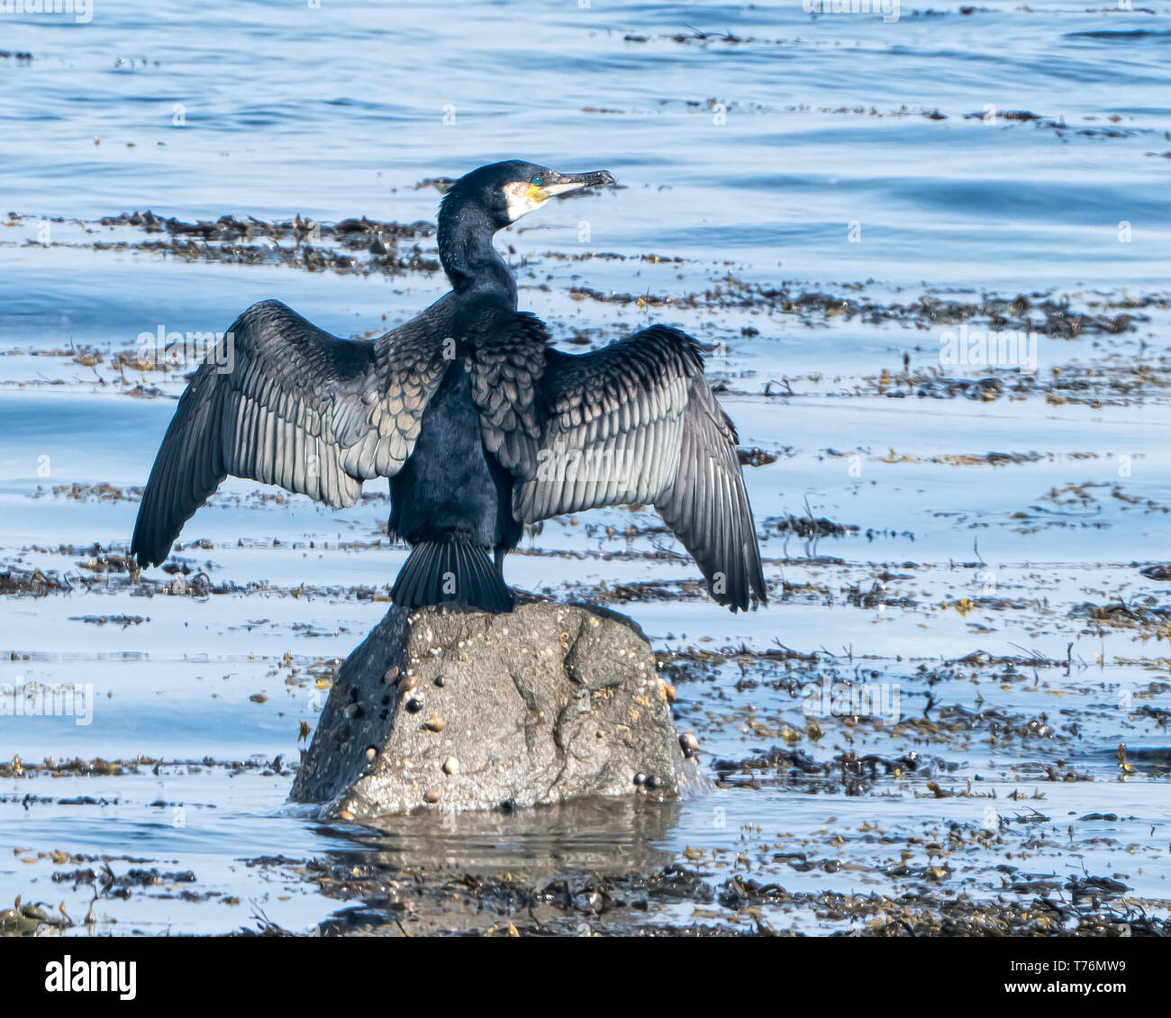 Cormorant  Drying out siting on a rock - Stock Image