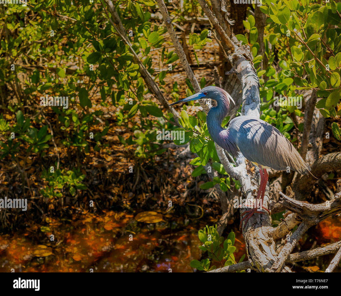 A tricolored heron, also known as a Louisiana heron, as seen in the mangrove forests of the Ding Darling Wildlife Refuge on Sanibel Island, Florida - Stock Image