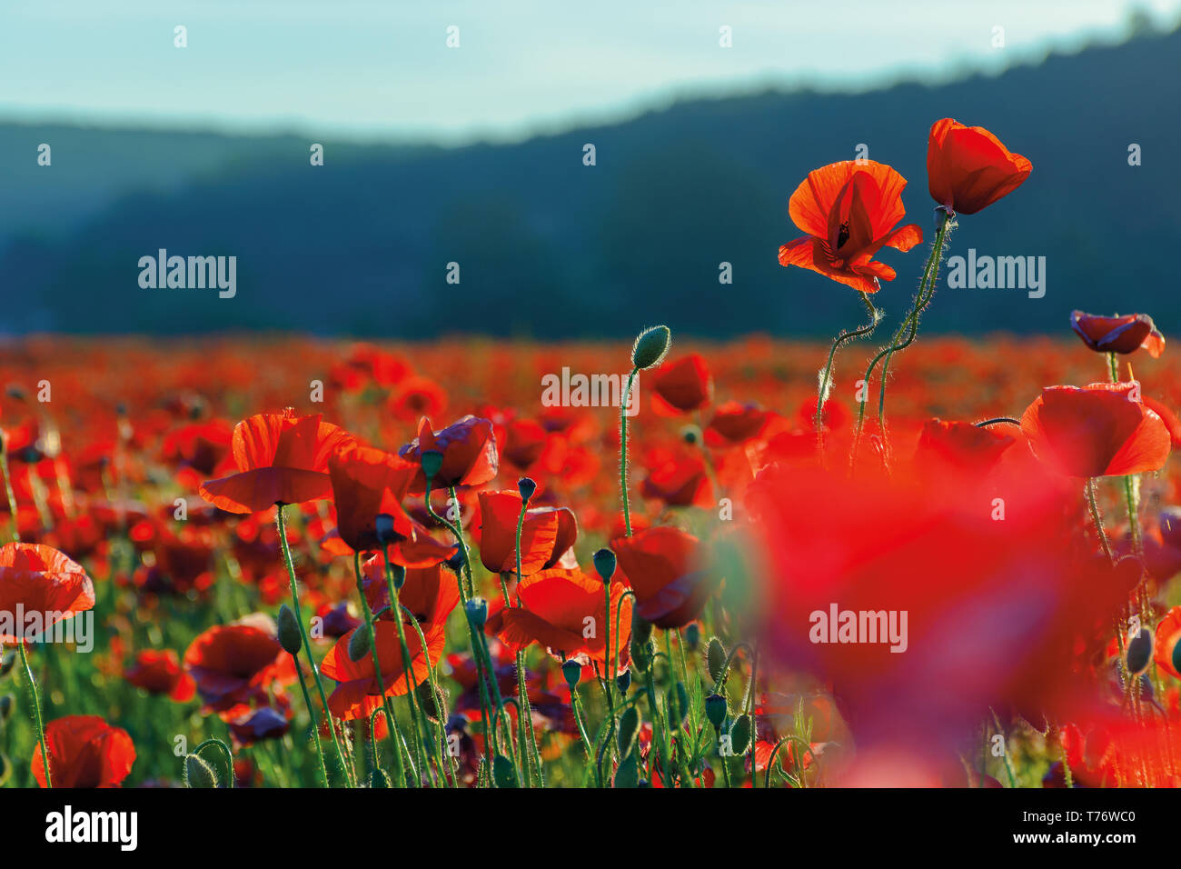 blossoming poppy field. beautiful summer nature background - Stock Image