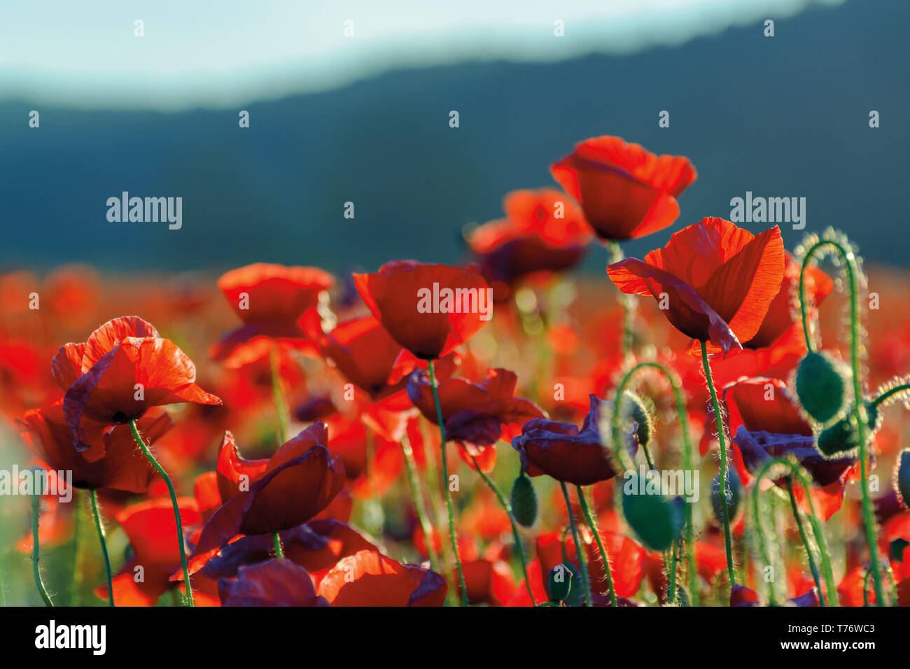 poppy flowers field bathing in the sunlight. beautiful summer background - Stock Image
