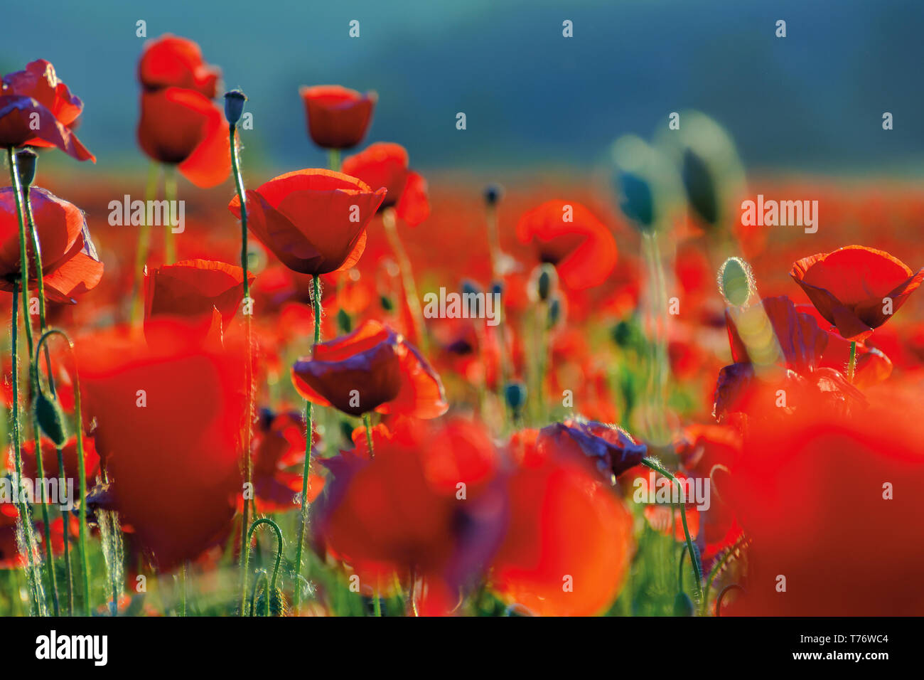 poppy flowers close up in the field. beautiful summer background - Stock Image