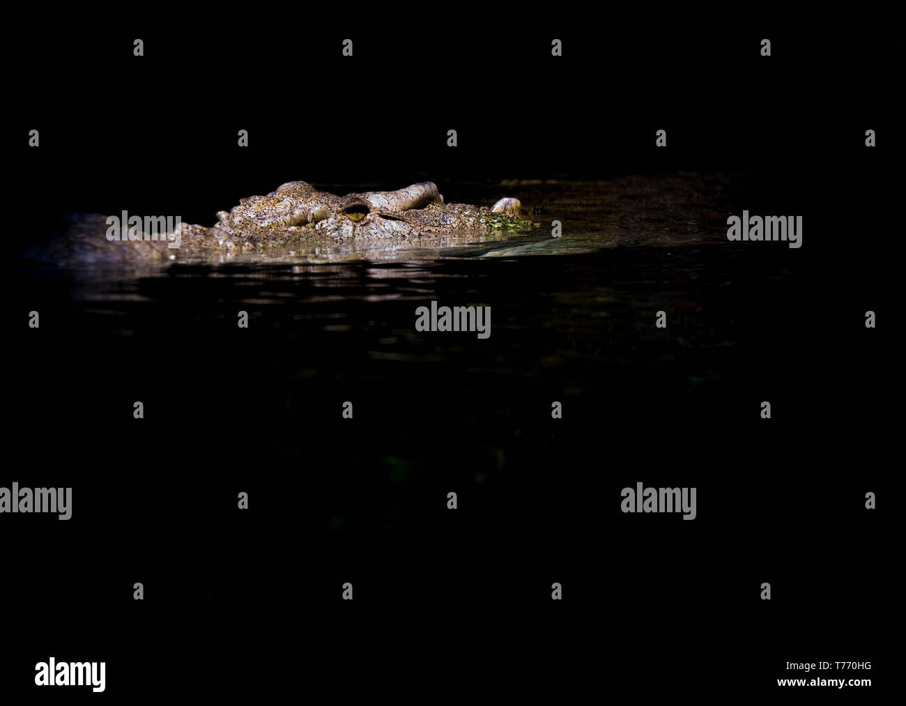 large Saltwater Crocodile waiting for prey - Stock Image