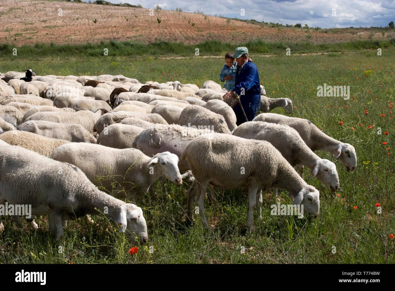 spanish shepherd with little boy tending the flock - Stock Image