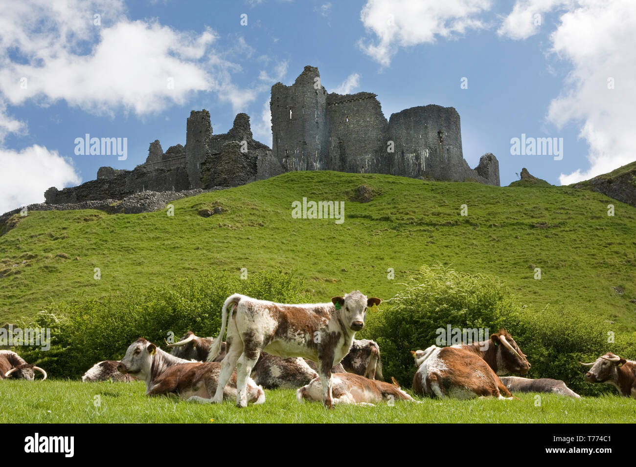 Durham Longhorn cattle grazing at foot of Carreg Cennen Castle, Black Mountains, Carmarthenshire, South Wales Stock Photo