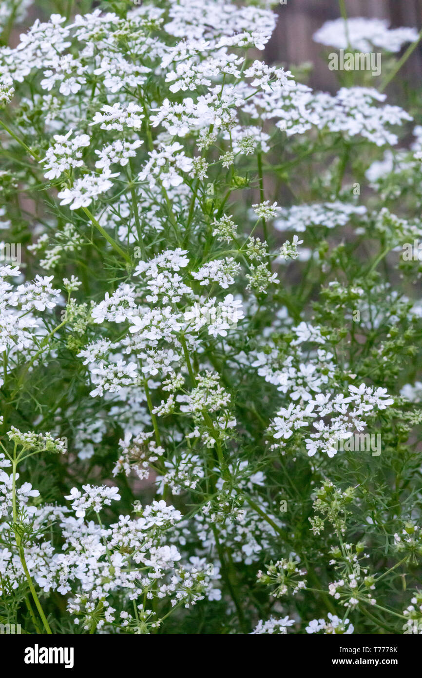 Coriander aka: cilantro plant (Coriandrum sativum) in bloom. In the US, the edible green leaves are known as cilantro and the seeds coriander. Stock Photo