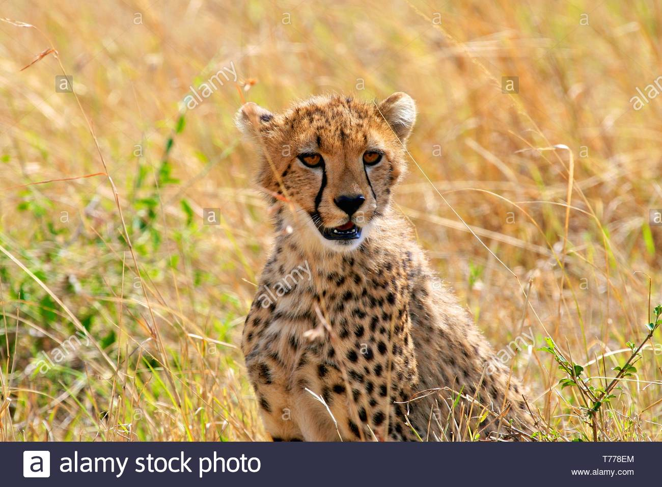 Cheetah in the park - Stock Image