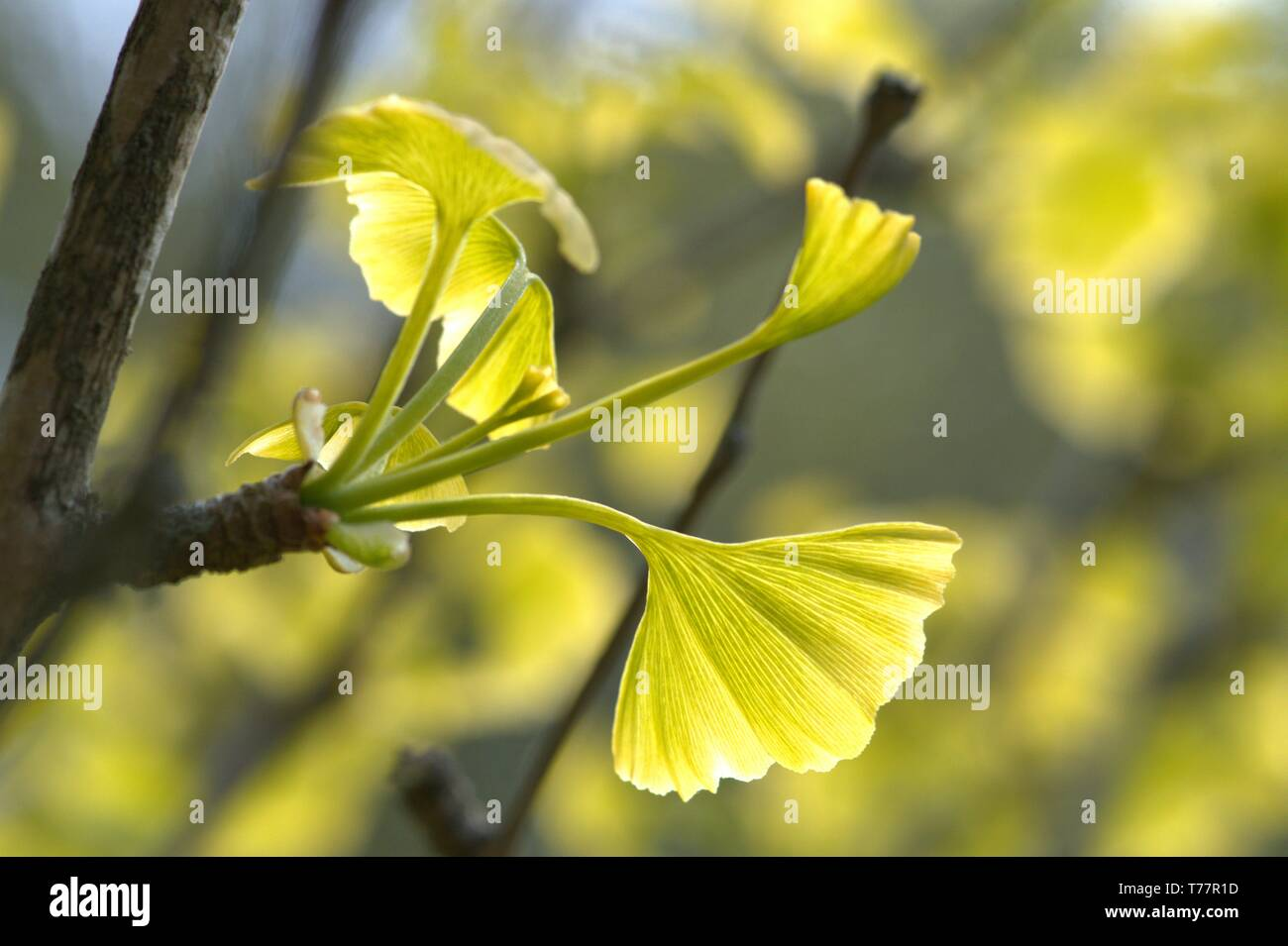 Schleswig, Deutschland. 05th May, 2019. 05.05.2019, Schleswig-Holstein, Schleswig: Close-up of some freshly sprouting ginkgo leaves on a ginkgo tree in spring. Class: Ginkgo Plants (Ginkgoopsida), Order: Ginkgoales, Family: Ginkgo Waxes, Genus: Ginkgo, Species: Ginkgo   usage worldwide Credit: dpa/Alamy Live News - Stock Image
