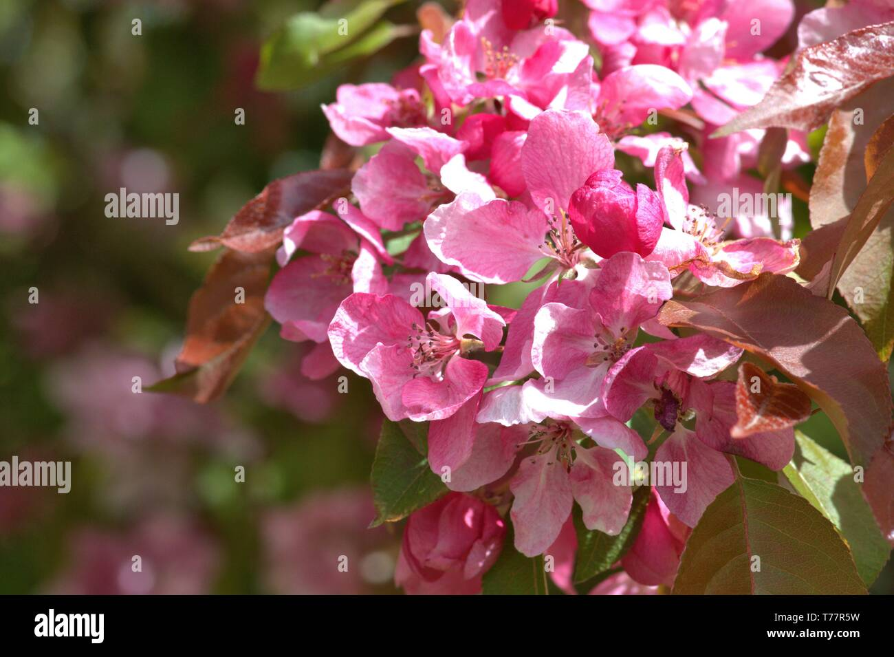 05.05.2019, Schleswig-Holstein, Schleswig: Detail of a flowering ornamental apple Rudolph, Malus Rudolph on a public estate in Schleswig. Order: rose-like (Rosales), family: rose-growing (Rosaceae), tribe: pyreae, sub-tribe: pome-fruit waxes (Pyrinae), genus: apple   usage worldwide - Stock Image
