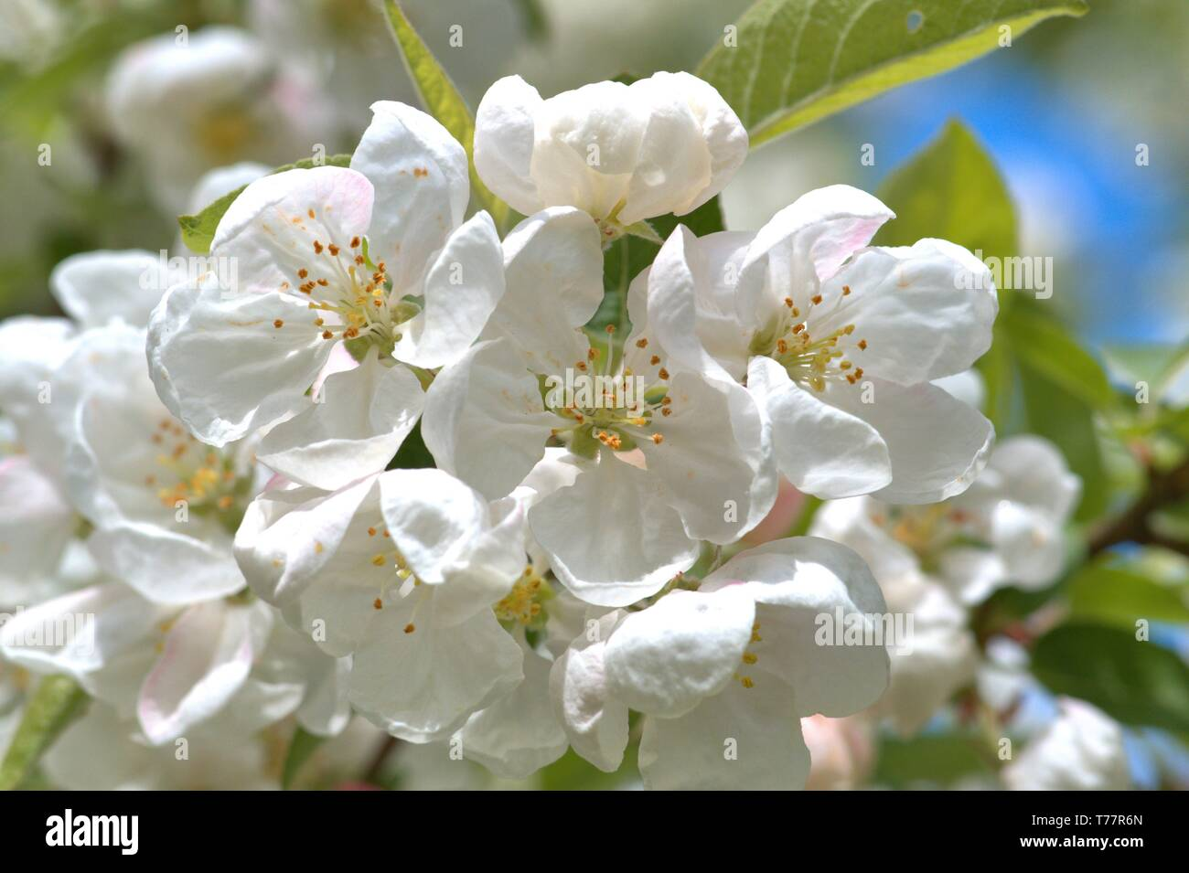 Schleswig, Deutschland. 05th May, 2019. 05.05.2019, Schleswig-Holstein, Schleswig: Detail of a flowering ornamental apple Everest, Malus Everest on a public area of the city of Schleswig. Order: rose-like (Rosales), family: rose-growing (Rosaceae), tribe: pyreae, sub-tribe: pome-fruit waxes (Pyrinae), genus: apple   usage worldwide Credit: dpa/Alamy Live News - Stock Image
