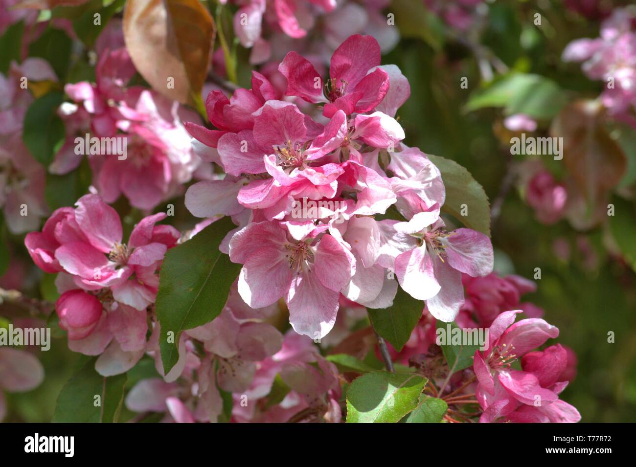 Schleswig, Deutschland. 05th May, 2019. 05.05.2019, Schleswig-Holstein, Schleswig: Detail of a flowering ornamental apple Rudolph, Malus Rudolph on a public estate in Schleswig. Order: rose-like (Rosales), family: rose-growing (Rosaceae), tribe: pyreae, sub-tribe: pome-fruit waxes (Pyrinae), genus: apple   usage worldwide Credit: dpa/Alamy Live News - Stock Image