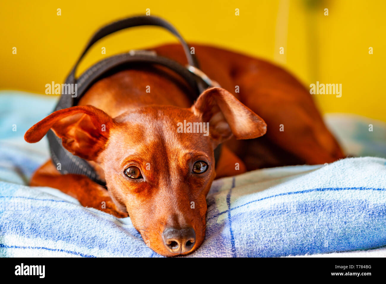 Dog breed miniature pinscher lying on the carpet. - Stock Image