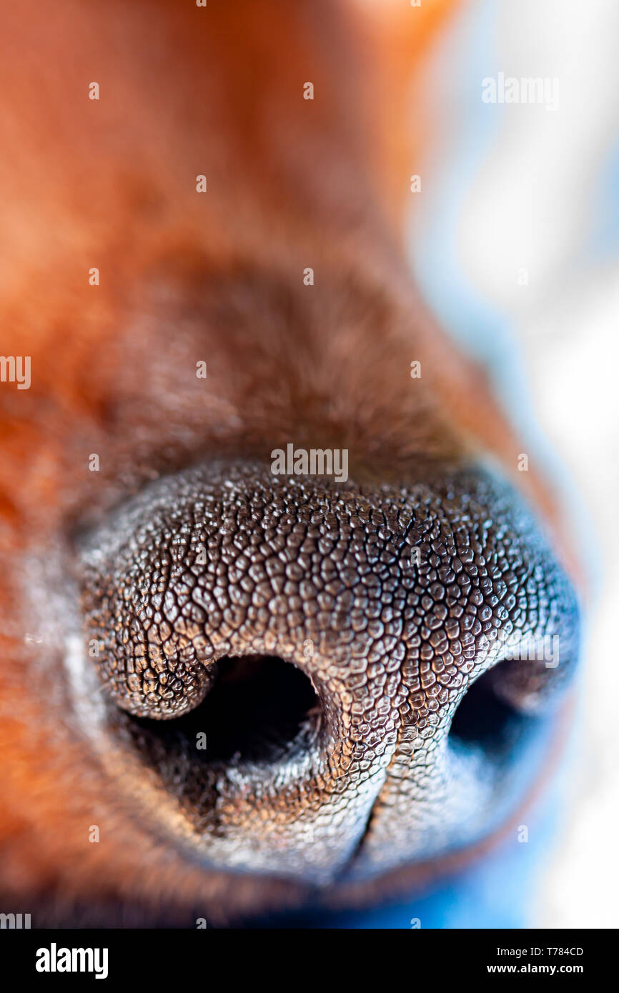 Dog breed miniature pinscher nose close up. - Stock Image
