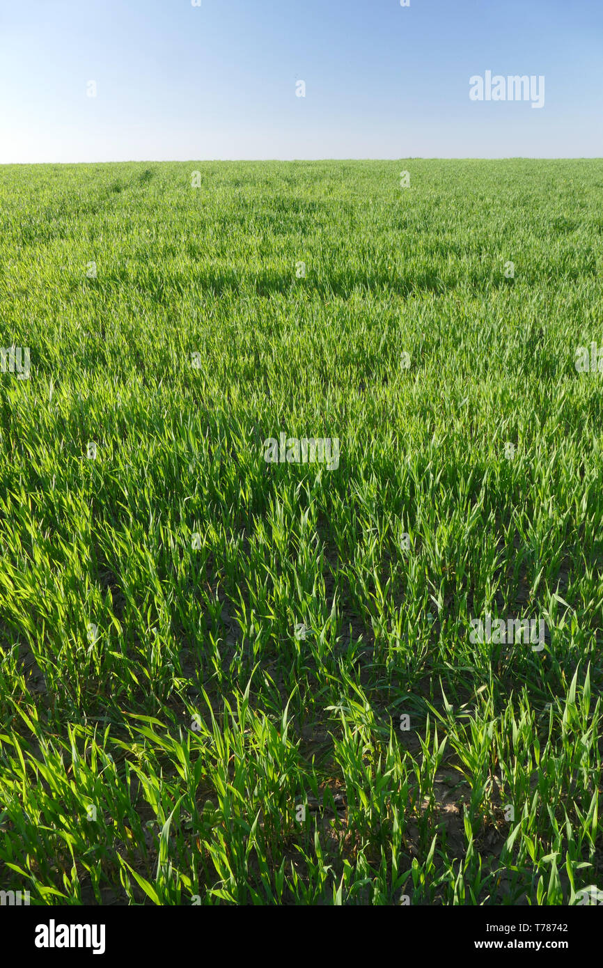 Young green wheat, wheat. Closeup. Agriculture, food, bread. Stock Photo