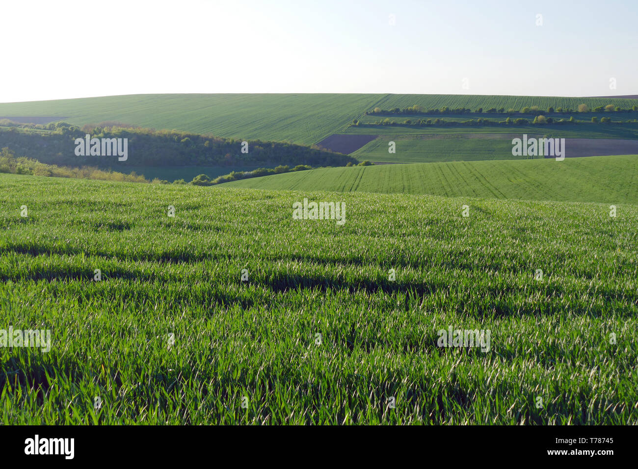 Green wheat fields. Agricultural land. Treated spacious field in the plane. Stock Photo