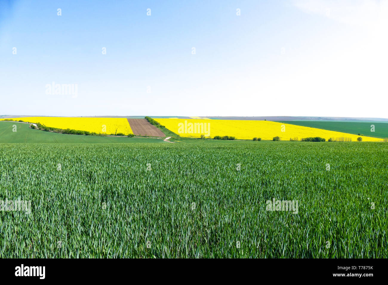 Green wheat fields. Agricultural land. Treated spacious field in the plane. Spring. Flowering rape. Stock Photo