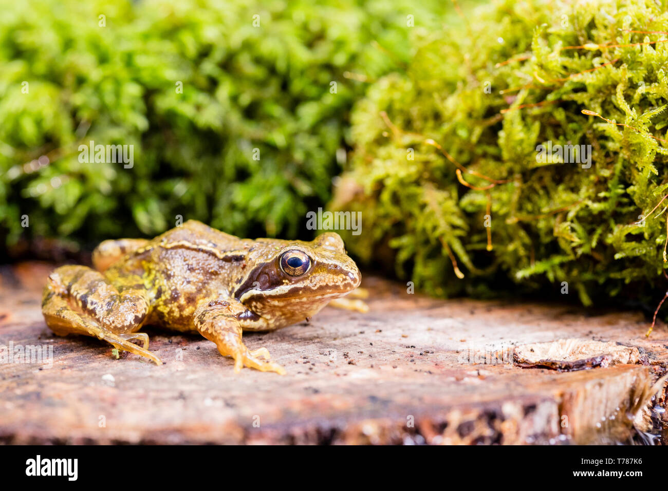 Common frog in Wales in springtime, Photographed in a controlled environment and then returned to where it was found. - Stock Image