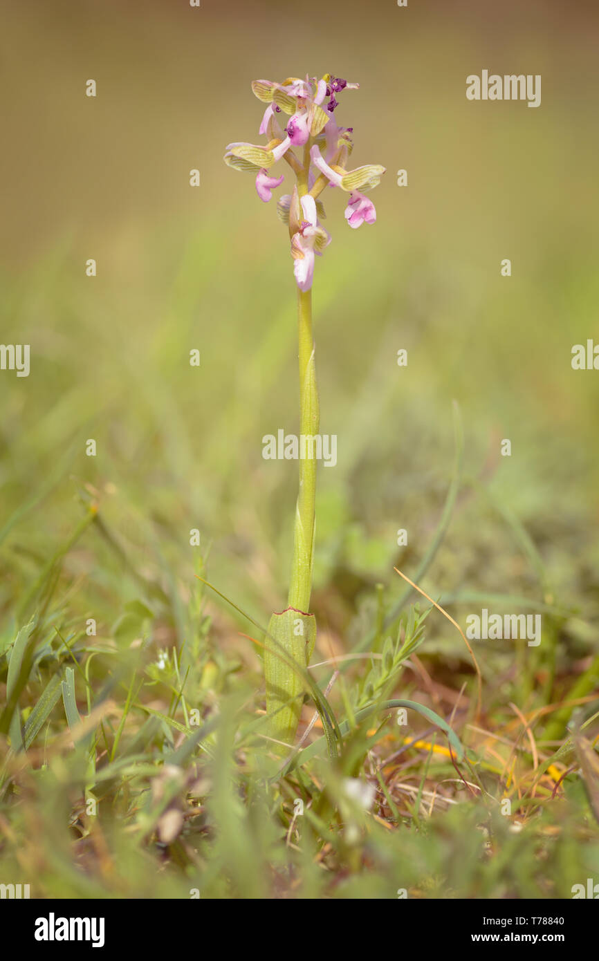 Anacamptis morio, the green-winged orchid or green-veined orchid synonym Orchis morio, is a flowering plant of the orchid family, Orchidaceae. It usua - Stock Image