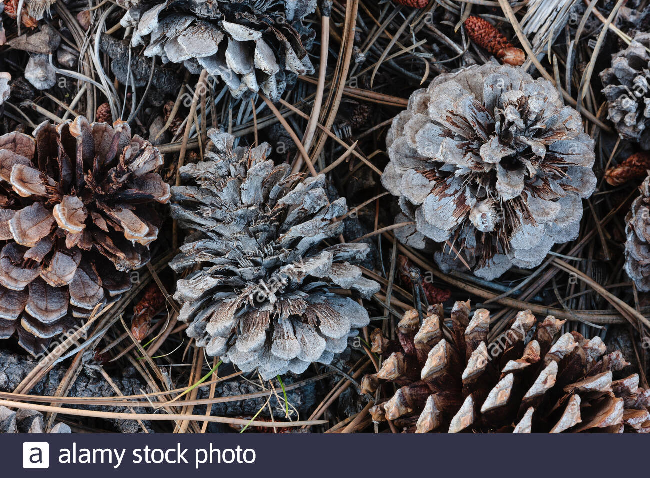 Greying pine cones cover the forest floor within Rocky Mountain National Park, Colorado - Stock Image