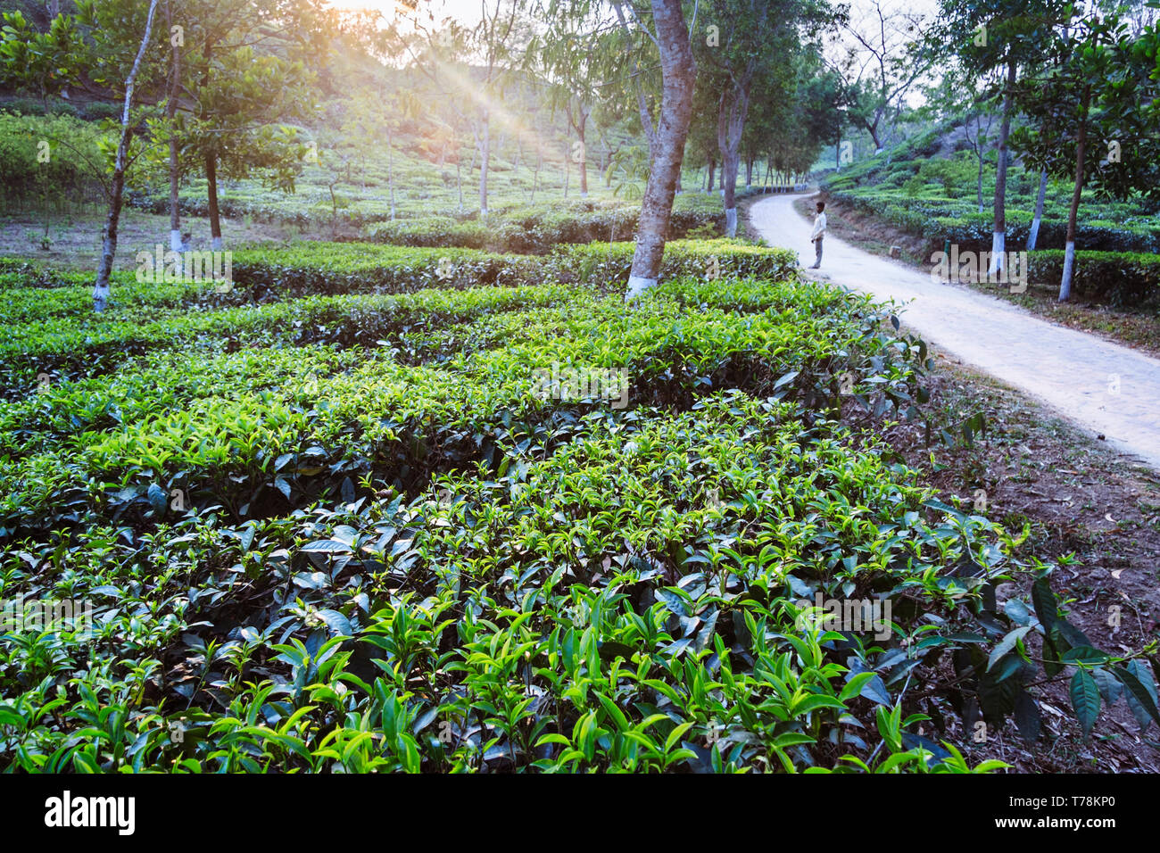 Sreemangal, Sylhet, Bangladesh : A man stands at a road through a tea estate in Srremangal Upazila. With a production of over the 3% of global tea pro - Stock Image