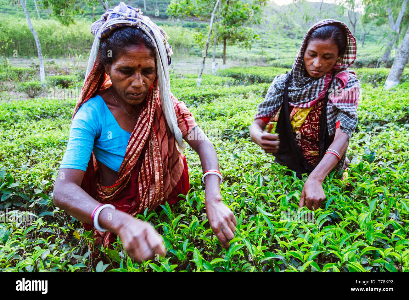Sreemangal, Sylhet, Bangladesh : Two women collect fresh tea leaves at a tea estate in Srremangal Upazila. With a production of over the 3% of global  - Stock Image