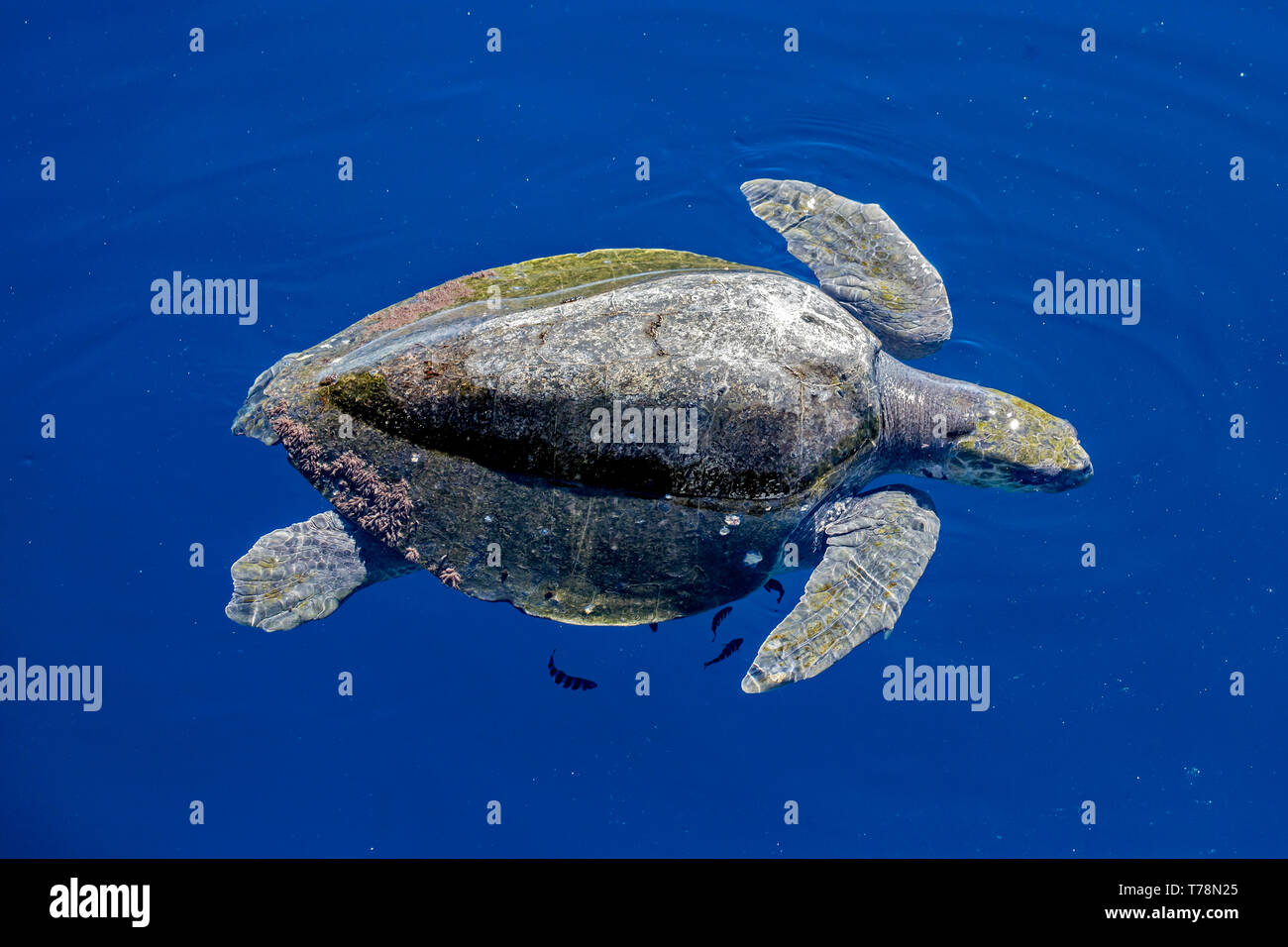 Olive Ridley Sea Turtle (Lepidochelys olivacea), also known as the Pacific Ridley Sea Turtle, resting on the surface in the Sea of Cortex - Stock Image