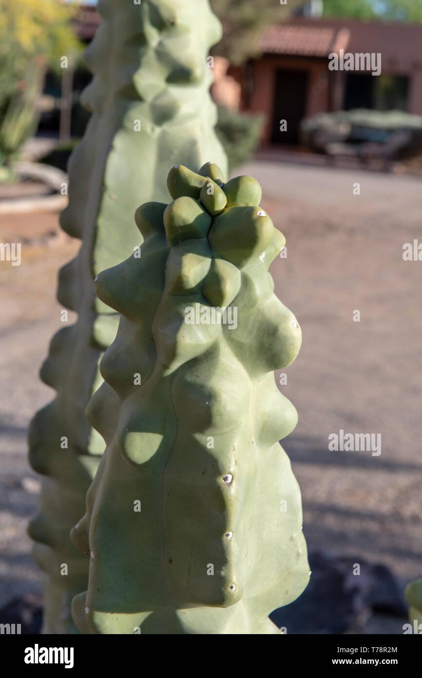 Forma monstrosus (Cereus peruvianus monstrosus) in Tucson, Arizona, USA - Stock Image