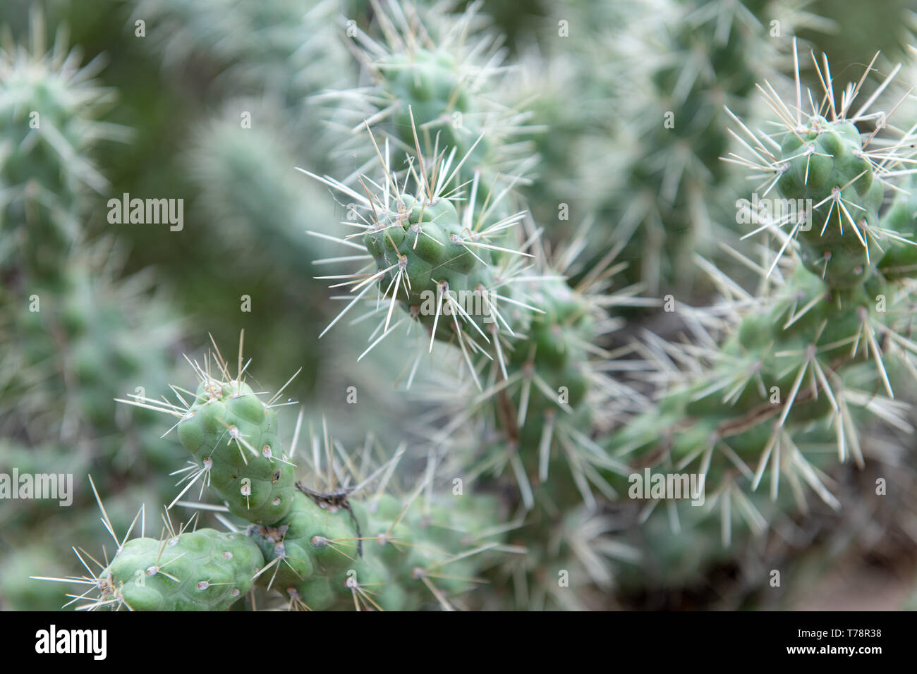 Jumping cholla (Cylindropuntia fulgida) in Tucson, Arizona, USA - Stock Image