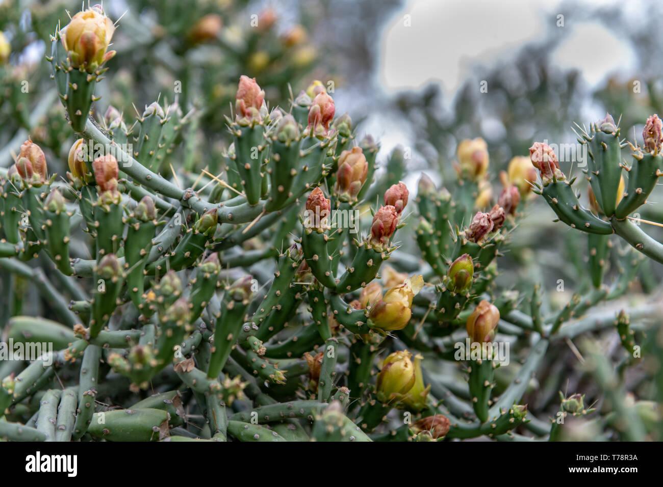Pencil Cholla (Cylindropuntia ramosissima) in Tucson, Arizona, USA - Stock Image