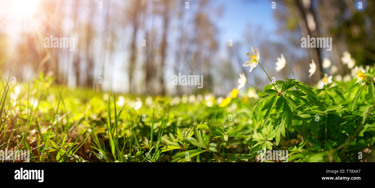 Wood with lots of white spring flowers in sunny day - Stock Image