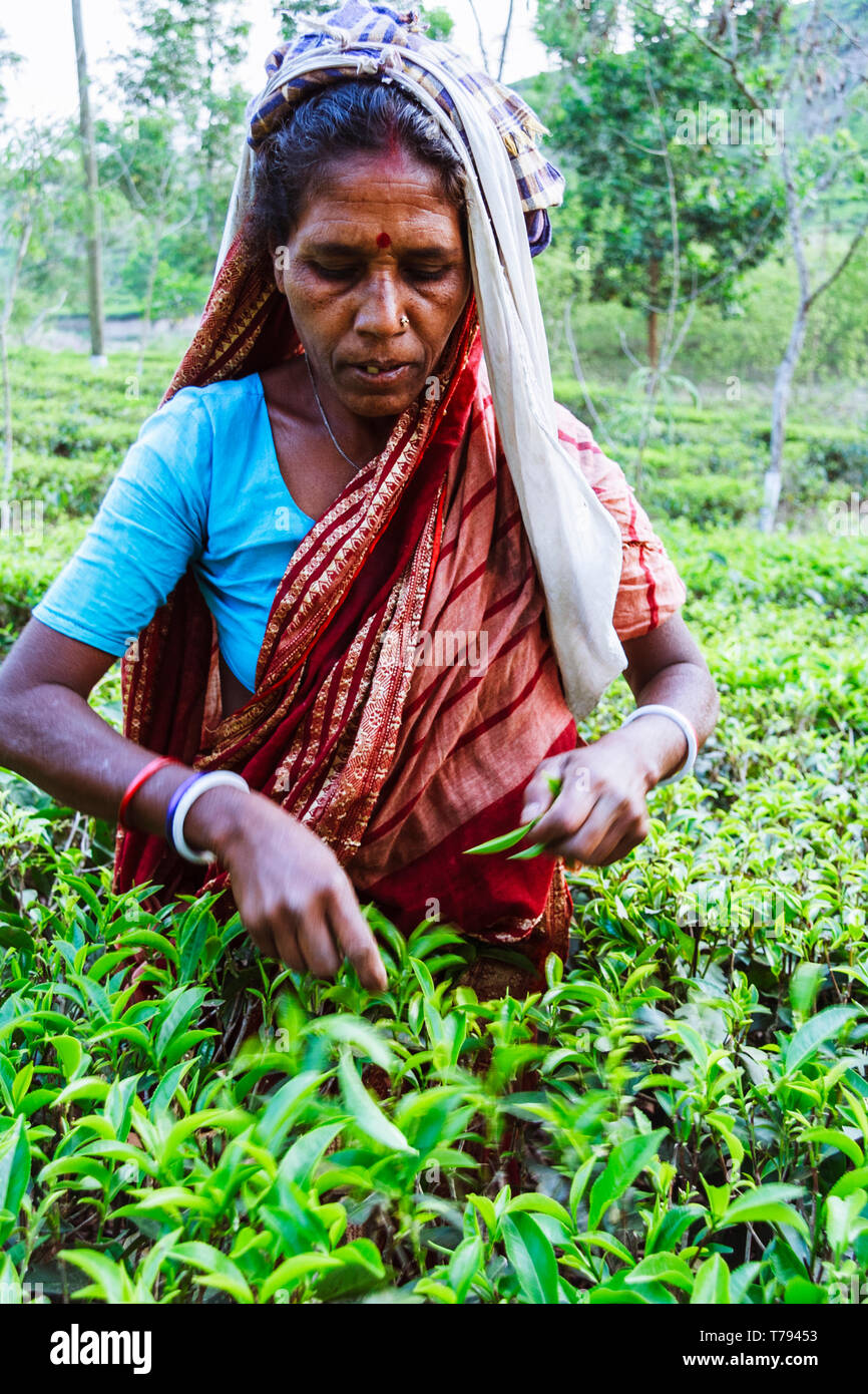 Sreemangal, Sylhet, Bangladesh : A woman collects fresh tea leaves at a tea estate in Srremangal Upazila. With a production of over the 3% of global t - Stock Image