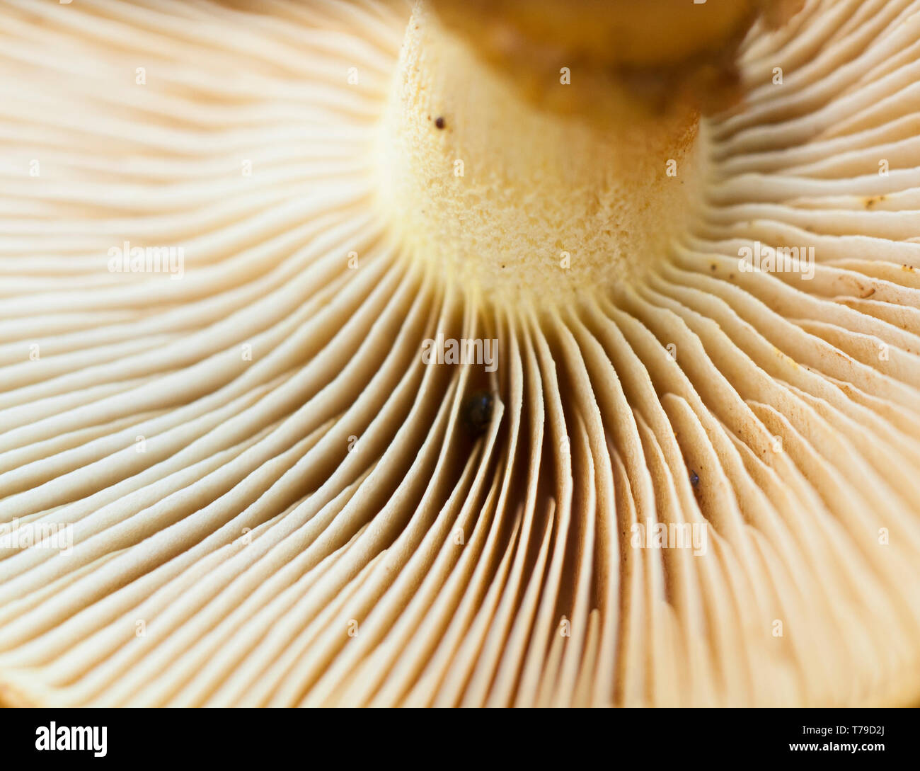 Close up macro image of wild white mushroom from the autumn garden. parts of the mushroom are in focus and other parts blurred out. Stock Photo