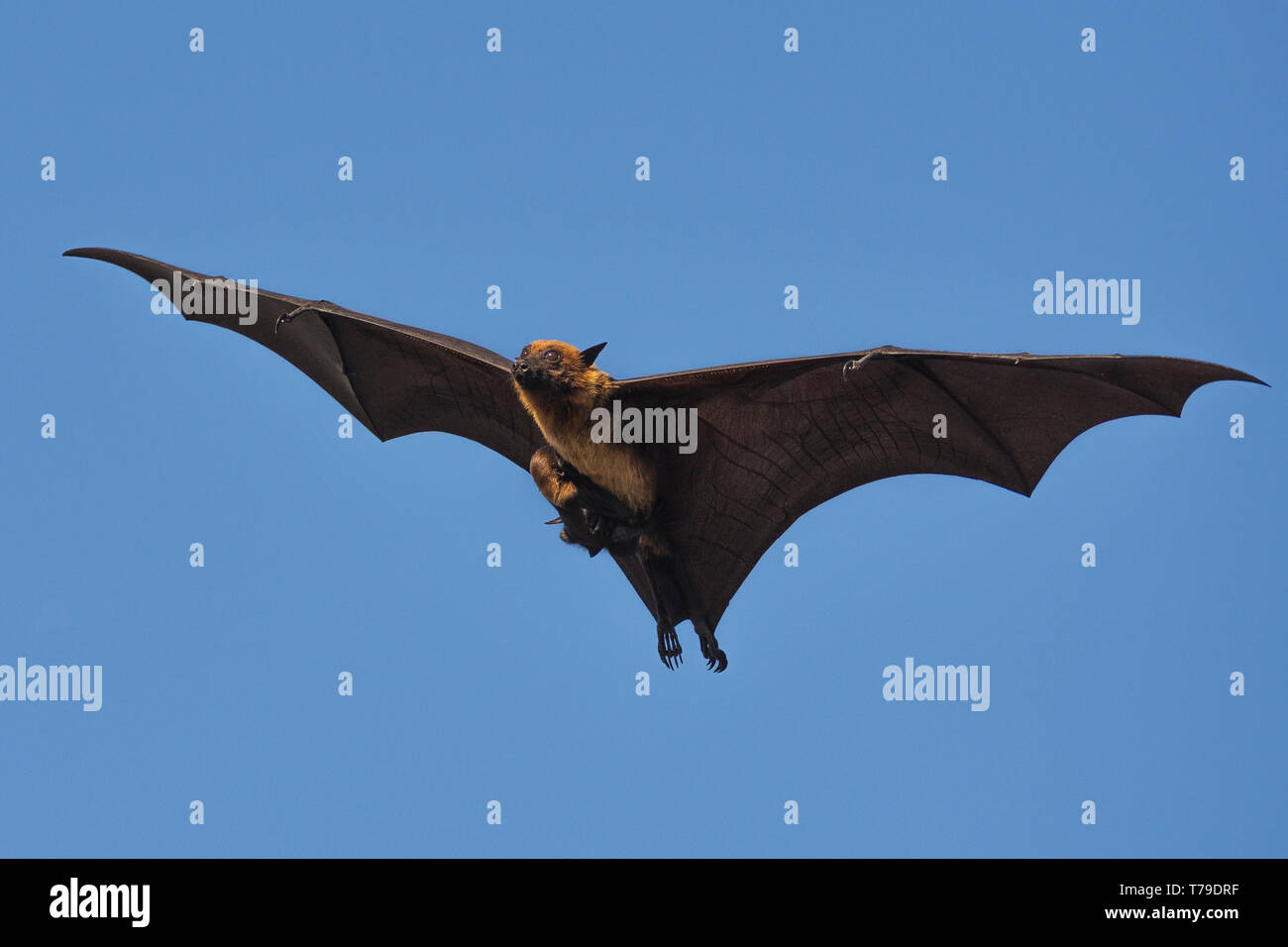 Indian flying fox (Pteropus giganteus) or the greater Indian fruit bat flying with pup Stock Photo