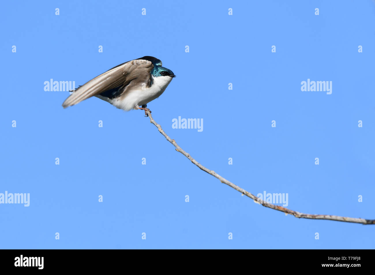 A male Tree Swallow spreads its wings before takeoff at Ashbridges Bay Park in Toronto, Ontario, Canada. - Stock Image