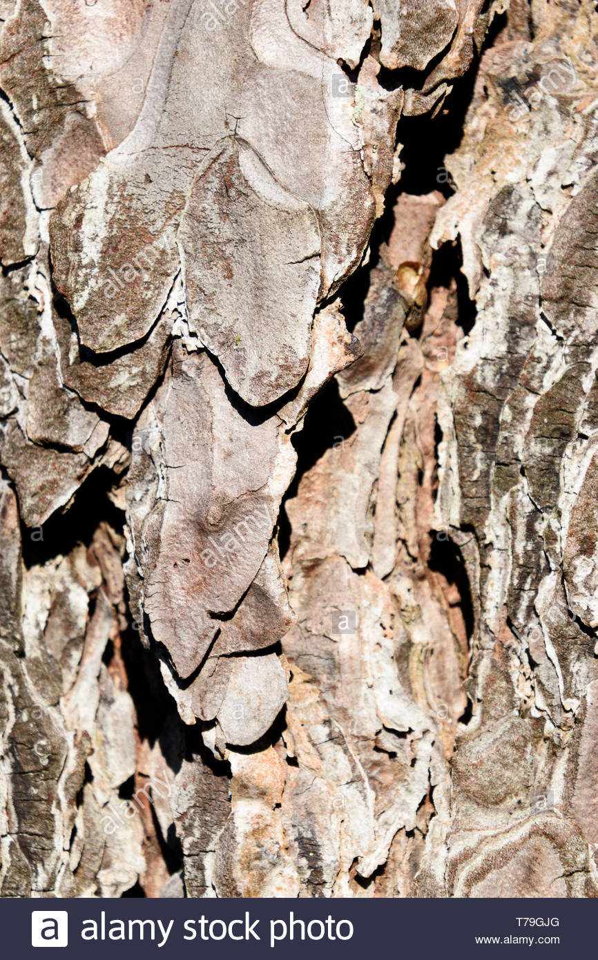 Close up image of the multi layered and rough textures in the bark of a pine tree trunk, England, UK - Stock Image