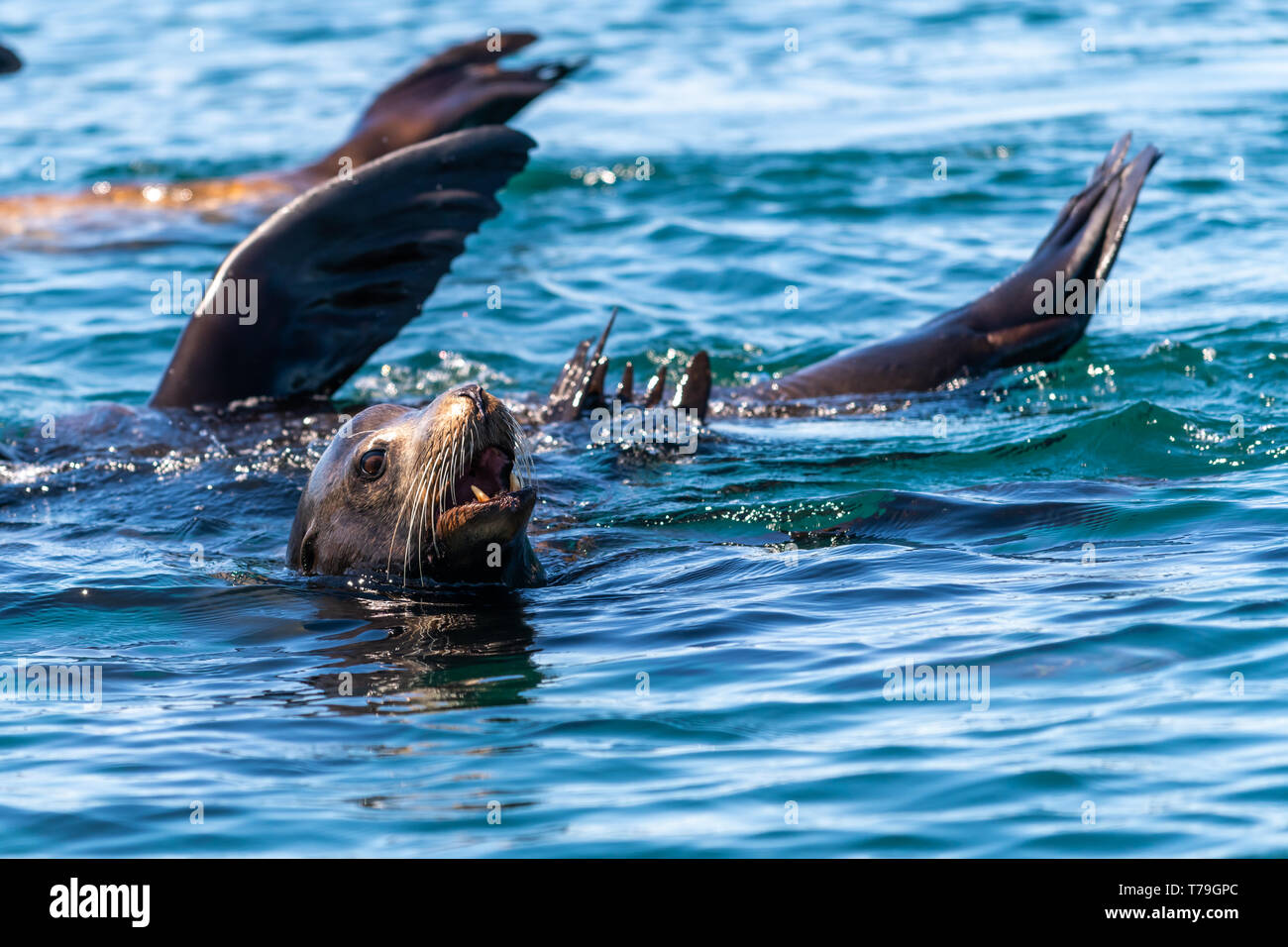 California sea lions (Zalophus californianus) thermalregulating by holding their flippers out of the water.  Baja California. Stock Photo