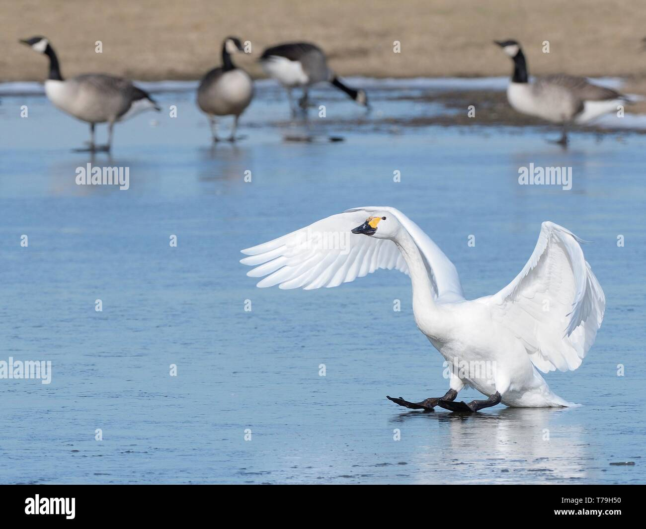 Bewick's swan (Cygnus columbiana bewickii) sliding on ice after landing on a frozen marshland pool with Canada geese (Branta canadensis) in the backgr - Stock Image