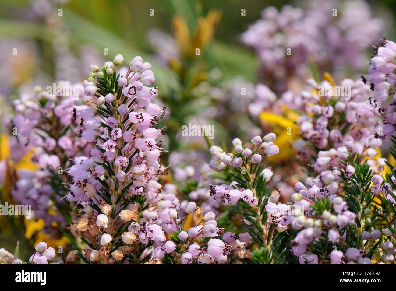 Cornish heath (Erica vagans) clump flowering on montane pastureland, above the Lakes of Covadonga, at 1300m, Picos de Europa, Asturias, Spain, August. - Stock Image