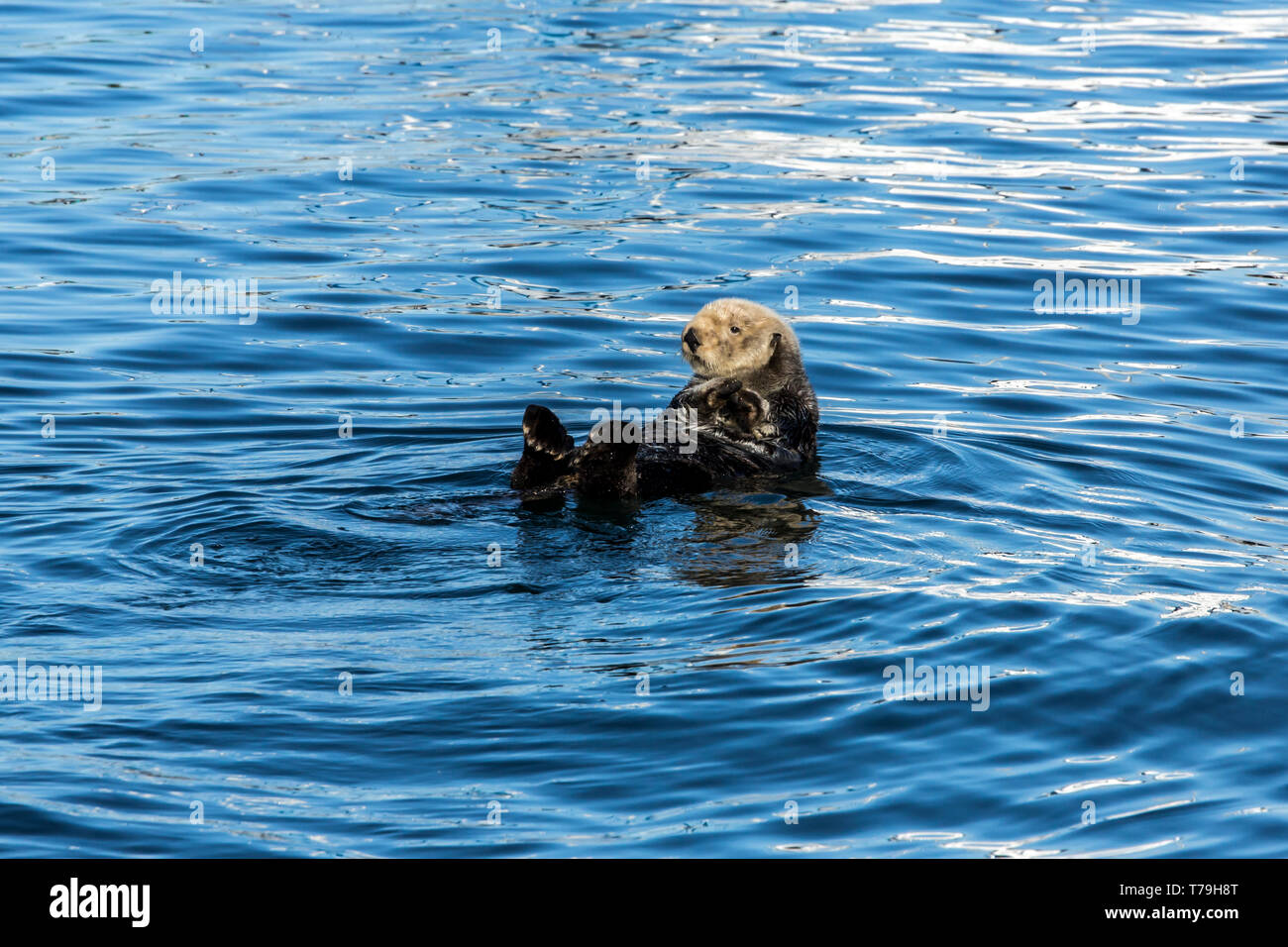 Sea Otter (Enhydra lutris) entangling itself to strings to prevent itself from drifting away, Monterey Bay, California - Stock Image